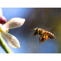 100% Natural Bee Pollen